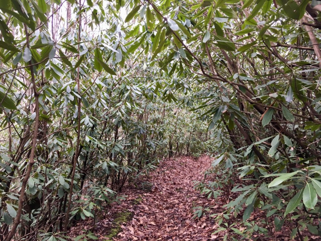 Tunnel of rhododendrons