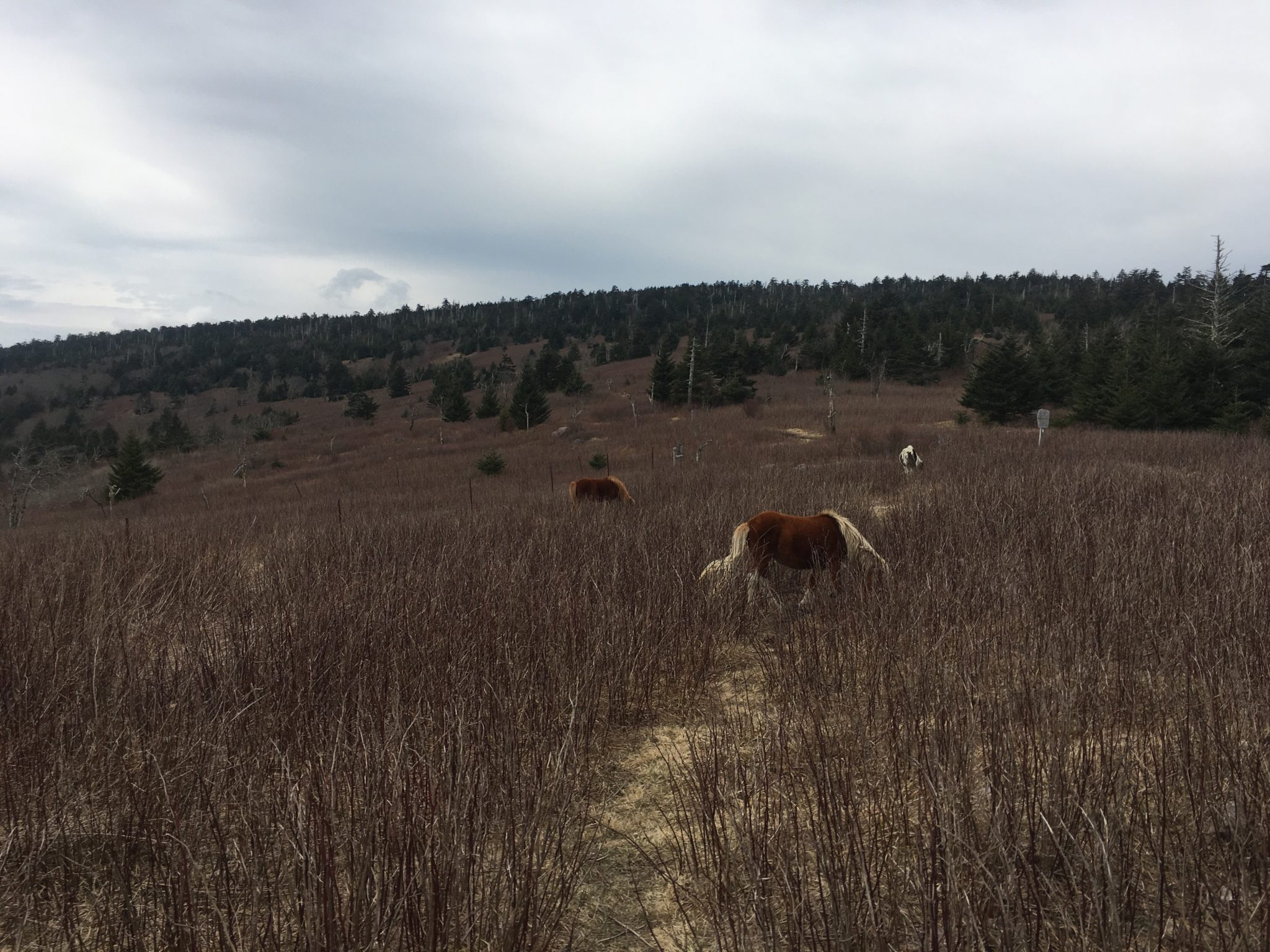 The ponies of the Grayson Highlands